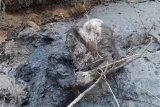 Diduga terperosok, seekor gajah betina mati di Aceh Timur