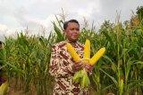Gubernur Sulsel panen jagung varietas NA1 dan NA2 di Soppeng
