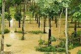 Ratusan hektare kebun masyarakat Mesuji terendam banjir