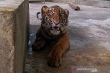 Satu kaki Harimau Sumatera yang ditemukan terjerat di hutan Riau terancam diamputasi