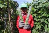Petani memperlihatkan gambas di area persawahan Desa Paron, Kediri, Jawa Timur, Kamis (9/4/2020). Harga jual gambas di tingkat petani di daerah itu terus merosot dari harga normalnya Rp4.000 menjadi Rp1.700 per kilogram karena sepinya pembeli di pasaran akibat diberlakukannya darurat COVID-19. Antara Jatim/Prasetia Fauzani/zk.