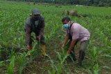 Ulat grayak serang belasan hektare lahan jagung petani Mukomuko
