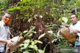 Warga Agam serahkan tujuh ekor kura-kura kaki gajah ke BKSDA