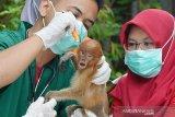 Yayasan SBI berjuang selamatkan bekantan dari virus corona dengan melepasliarkan ke alam