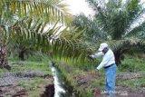 Balitbang Kementan kembangkan budi daya kelapa sawit di lahan ramah lingkungan