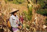 Perempuan di Sulteng punya kemampuan mengolah lahan sekitar kawasan hutan