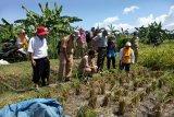 Sistem mulsa tingkatkan produktivitas panen padi di Kulon Progo