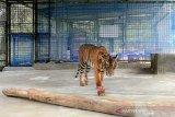 Harimau Sumatera Corina alami progres kesembuhan sangat bagus, menurut BBKSDA Riau