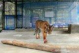 Harimau Corina alami progres kesembuhan sangat bagus