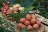 Tingkatkan stok di tengah pandemi COVID-19, peternak telur herbal buka gerai di Pringsewu