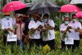 Menteri Pertanian panen bawang putih di lereng Gunung Sumbing