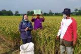 Sejumlah desa di Purbalingga mulai panen padi