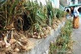 Importir diminta beli bawang putih hasil panen petani Temanggung