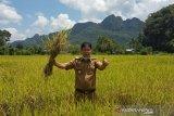 Petani Pangkep panen padi di tengah pandemik COVID-19
