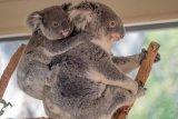 Segera lindungi koala,  kalau tidak tahun 2050 akan punah semua