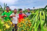 Buah naga segar petani  milenial berhasil tembus Malaysia