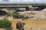 Gerombolan gajah melintas di terowongan tol Sumatera