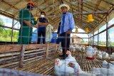 UPR panen ayam, bantu ketahanan pangan daerah