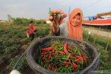 Lampung Barat bantu jaga kelancaran pasokan cabai