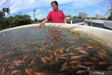 Ikan nila payau di Lampung Timur Rp20 ribu per kilogram