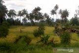 Warga Minahasa diimbau tanam padi ladang