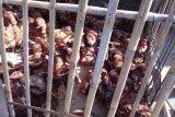 Harga ayam potong di Bandarlampung berangsur normal, pembeli sepi