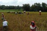Produksi padi Lampung Timur stabil di tengah pandemi COVID-19