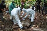 Seekor anak gajah Sumatera mati, diperiksa dengan protap COVID-19