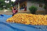 Hasil panen jagung melimpah di Lampung Tengah