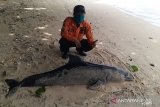 Tim SAR menemukan bangkai lumba-lumba terdampar di Pantai Ujung Genteng