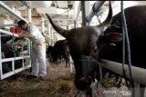 Selama Ramadhan, Permintaan pasokan sapi dari luar NTT meningkat