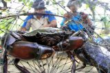 Nelayan Kepiting Bakau Di Aceh