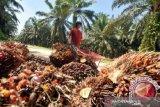 Harga minyak sawit di Jambi turun Rp613 per kilogram