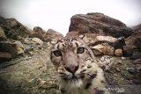 Macan tutul salju muncul di dekat kota di Kazakhstan saat