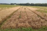 Ratusan hektare tanaman padi diserang hama wereng