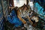 BKSDA Riau evakuasi harimau sumatera di Pelangiran