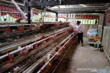 DPP Kulon Progo bantu budi daya ayam buras kepada 15 kelompok tani