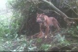Kisah enam warga Solok dihadang tiga Harimau Sumatera, memanjat pohon dan sembunyi di pondok