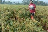 Varietas Mantap inovasi Balitbangtan Kementan berpotensi menghasilkan padi 9,1 ton/ha