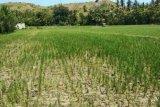 Puluhan hektare sawah  alami kekeringan di Majene