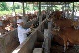 Pemuka agama Hindu melakukan penyucian bagi ternak sapi dalam upacara Hari Tumpek Kandang atau persembahyangan bagi hewan di Sentra Pembibitan Sapi Bali, Desa Sobangan, Badung, Bali, Sabtu (9/5/2020). Upacara bagi hewan perliharaan tersebut dilakukan dengan jumlah orang yang terbatas karena masih dalam situasi pandemi COVID-19 untuk mendoakan agar segala jenis hewan itu dapat memberi manfaat positif bagi manusia. ANTARA FOTO/Nyoman Hendra Wibowo/nym.
