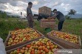 Petani keluhkan harga tomat turun