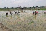Kelompok tani di Jakarta  tetap menanam padi saat pandemi