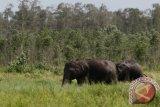 Belasan gajah liar merusak rumah dan kebun warga Bengkalis