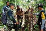 Polres tangkap pelaku pencuri kayu BKPH Paninggaran