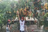 Petani Parigi Moutong panen raya buah rambutan