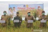 Kabupaten Bone panen raya di tengah pandemik COVID-19