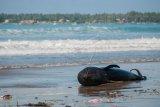 Seekor paus pilot terdampar di pantai Cemara Binuangeun, Lebak, Banten, Selasa (12/5/2020). Menurut keterangan warga setempat paus pilot dengan panjang sekitar dua meter tersebut terseret ombak hingga akhirnya terdampar di bibir pantai dan mati sejak sejak Senin (11/5) dini hari. ANTARA FOTO/Muhammad Bagus Khoirunas/nym.