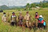 Kulon Progo mengembangkan varietas Inpari IR Nutri Zinc seluas 12 hektare