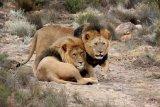 Tujuh ekor singa kabur dari taman safari di Afrika Selatan
